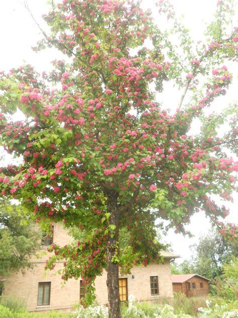 alberi con fiori rosa la finestra di stefania albero crataegus paul s scarlet