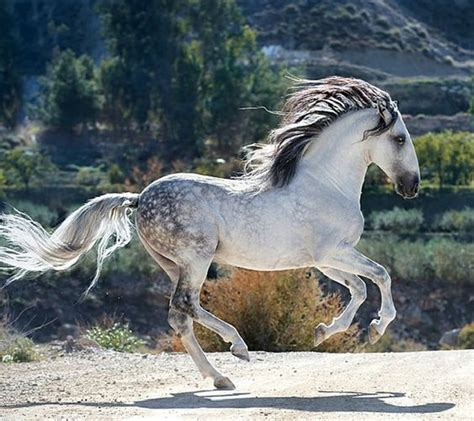 andalusian horse breed