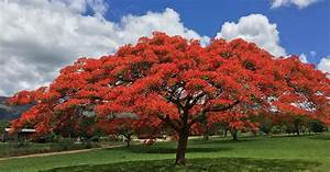 Fabulously Flamboyant Red Blossoms in Pretoria and ...