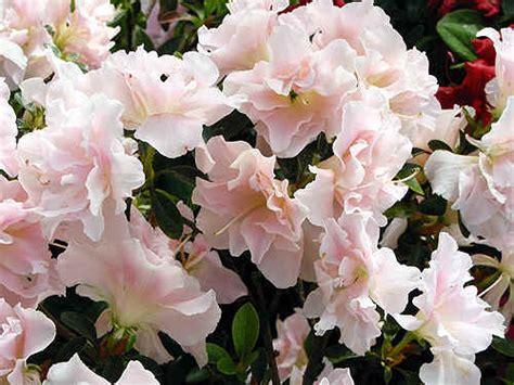 elisia bloemen japanse azalea s