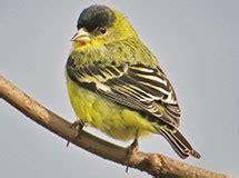 finches grosbeaks  house sparrows oregon department