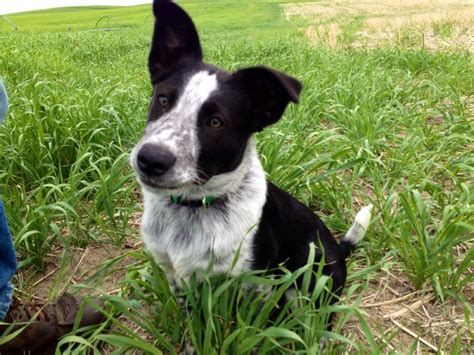 Do Blue Heeler Border Collies Shed by Border Collie Heeler Mix Dogs Breeds Picture
