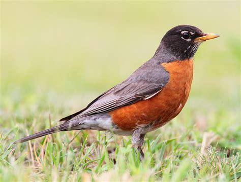 miss young s art room 1st grade audubon robins