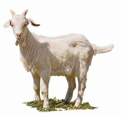 Kambing Gambar Qurban Aqiqah Hewan Goat Untuk