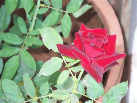 when to plant roses top 28 what to plant around roses how to care rose plant hindi youtube fragrant climbing