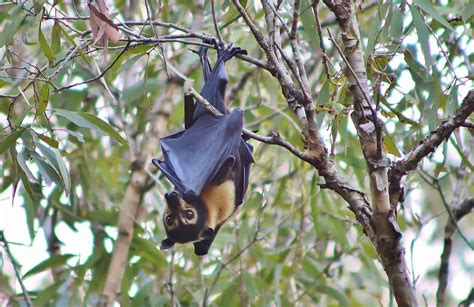 bats facts flying fruit foxes microbats myths megabats eat blossom eating largest which