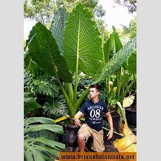 29 Best Fl Elephant Ears And Large Leaf Plants Images On