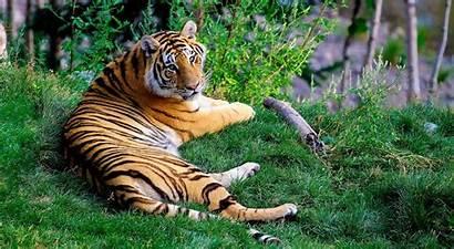 Tiger Wallpapers 1080p