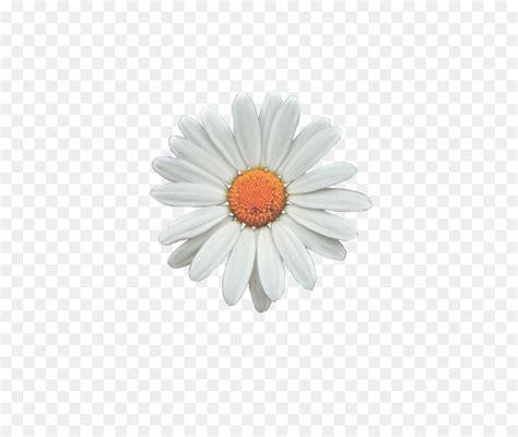 keren  wallpaper gambar bunga daisy koleksi