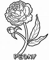 Coloring Peony Flower Flowers Pages Single Sheet Topcoloringpages Blooming sketch template