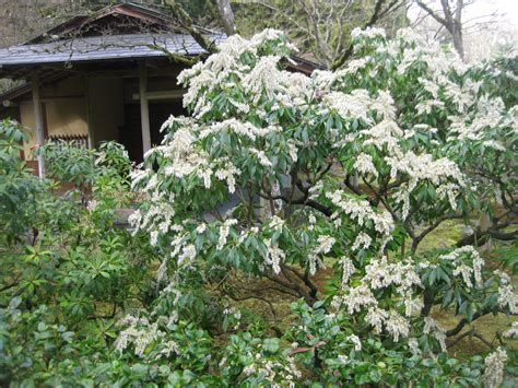 garden bushes pieris japonica andromeda lily of the valley shrub sjg bloom