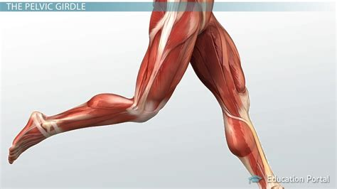 Rear view of female hip and leg muscles with labels. Muscular Function and Anatomy of the Upper Leg - Video ...