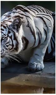 White Tiger Computer Wallpapers, Desktop Backgrounds ...