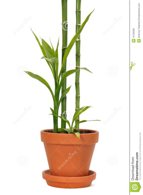 bamboo in a pot stock photography image 15735392