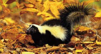 striped skunk  nc wins ncpedia