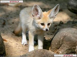 un fenec - Blog de animaux08800