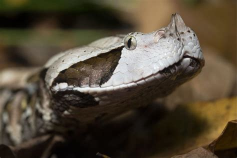 Is Deadly Gaboon Viper On Loose In Milledgeville?