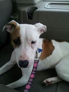 a pit bull/whippet mix | cute dogs-cylia's | Pinterest | We