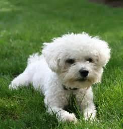 bichon maltese apartment dog