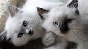 cats and kittens poshdollz ragdolls breeder of beautiful purebred ragdoll