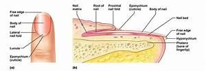 Anatomy Of Nail  Yay Integumentary System