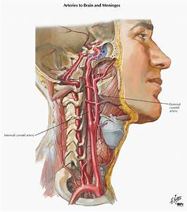 Circulation Of The Internal Carotid Artery  Modified From