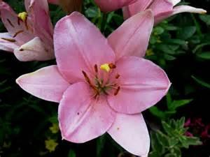 Lily Plant Varieties