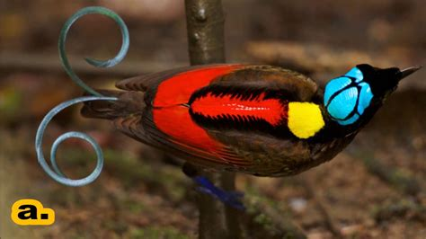 most colorful birds most colourful bird in the world color of nature wilson s