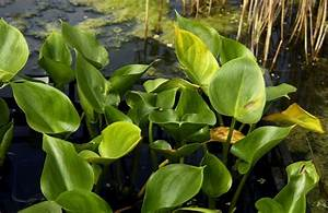 Calla Pflanze Giftig : sumpfkalla calla palustris g nstig online kaufen ~ Frokenaadalensverden.com Haus und Dekorationen