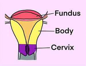 The Pregnant Uterus -anatomy And Function