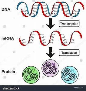 Central Dogma Gene Expression Infographic Diagram Stock