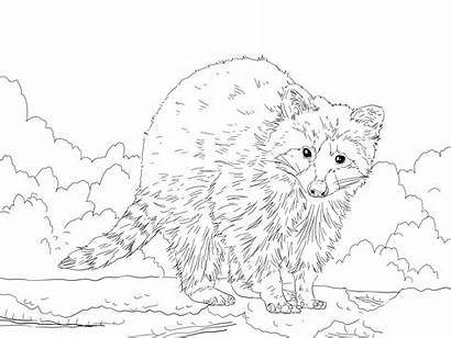 Raccoon Coloring Pages Racoon Realistic Animal Printable