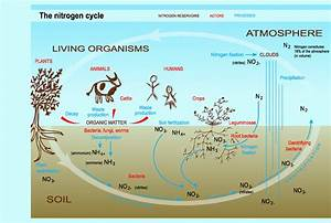 Tom U0026 39 S Marine Biology A Block  Diagram Of Nitrogen Cycle