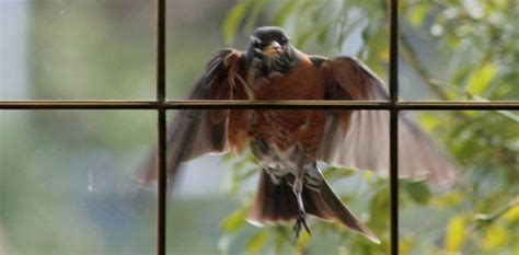 wild birds unlimited some tips to deter bird window attacks