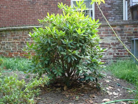 how to plant a rhododendron shrub rhododendron
