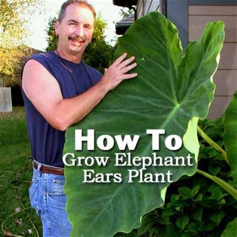 how does it take elephant ears to grow how to grow elephant ears plant love mine and now i know what to do with it over the winter