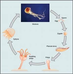 Phylum Cnidaria · Biology