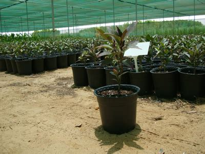 Pseuderanthemum Atropurpureum Purple False Eranthemum