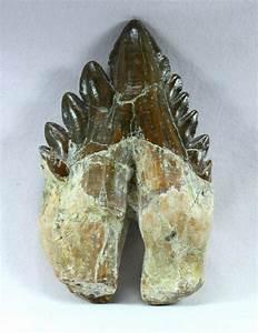 Basilosaurus Whale Tooth Fossil