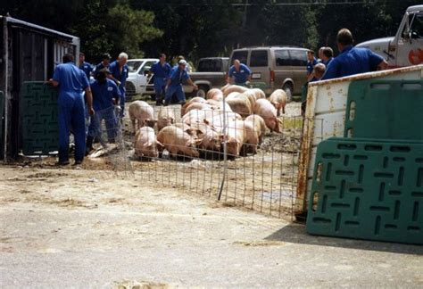 smithfields truck accidents pigs pay  price peta