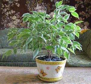 Ficus Benjamini Kaufen : ficus benjamina f benjamini pflege pflanzenfreunde ~ A.2002-acura-tl-radio.info Haus und Dekorationen