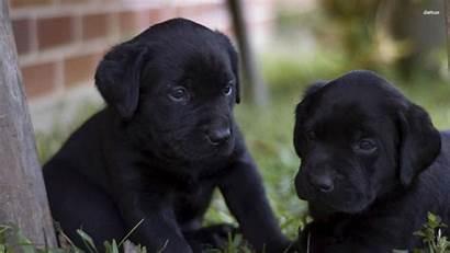 Lab Labrador Desktop Puppy Puppies Labs Wallpapers
