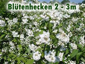 Schnell Wachsender Busch : bl tenhecken 2 bis 3m wuchsh he ~ Lizthompson.info Haus und Dekorationen