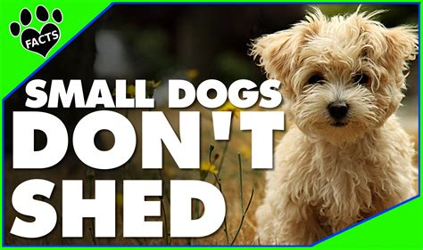 small breeds that don t shed 10 small breeds that don t shed small non shedding