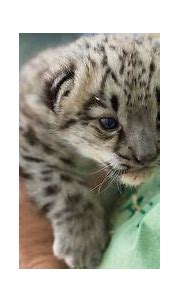 Endangered Clouded Leopard Cubs born at Point Defiance Zoo ...