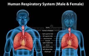 Human Respiratory System Stock Vector  Illustration Of
