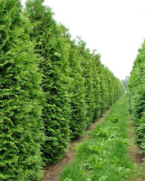 thuja occidentalis brabant thuja occidentalis brabant den berk nurseries