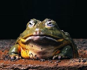 Charles Paddock Zoo - African Bullfrog