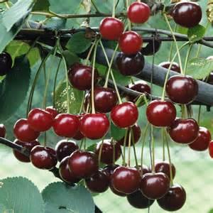 Cherry Fruit Tree