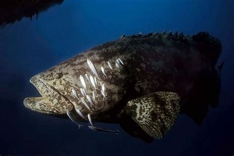 goliath grouper classification scientific sea